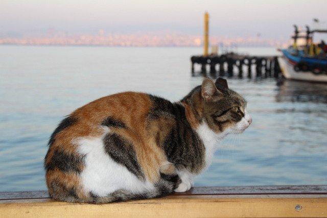 buyukada-kedi