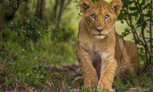 Büyük Göç Zamanı Kenya ve Tanzanya Safari Rotası