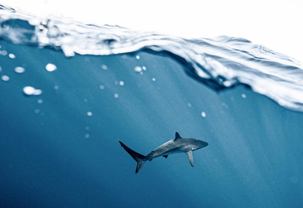Malapascua Sapan Kuyruk Köpekbalığı