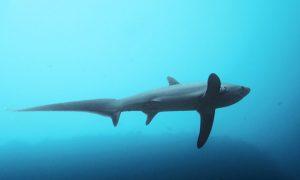 Malapascua & Sapan Kuyruk Köpekbalıkları