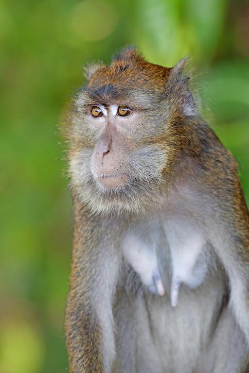 Filipinler - Macaque maymunu
