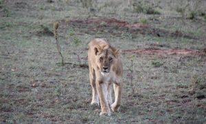 Tanzanya'da Safari Parklarına Açılan Kapı – Arusha