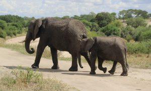 Tanzanya'da Fillerin Yurdu – Tarangire