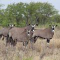 Safari Cenneti Etosha Ulusal Parkı