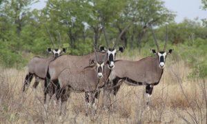 Namibya Etosha Ulusal Parkı gezi rehberi