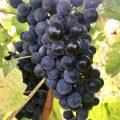 Hoşköy'de bağbozumu ve Melen Şarapçılık
