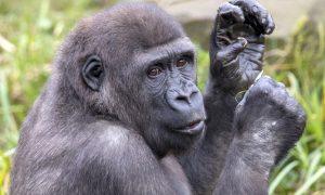 Uganda – Dağ gorillerinin ülkesi